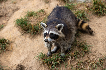 Full body of young common raccoon