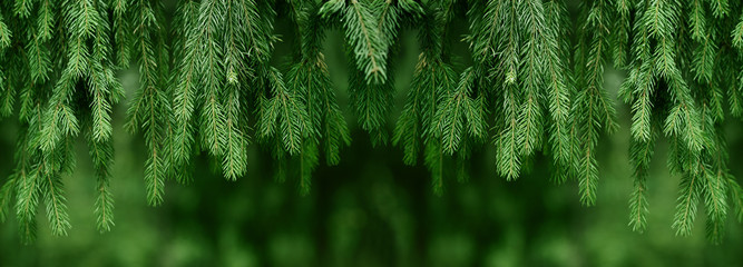 Fir or pine christmas and new year holiday green  backdrop