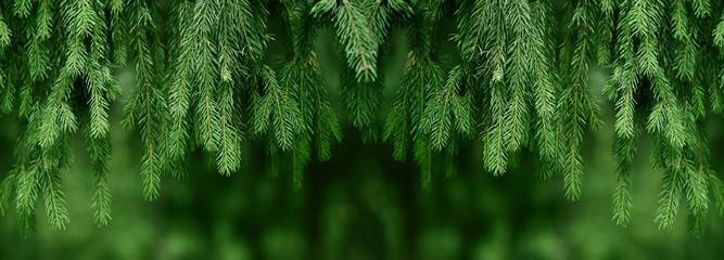 Fototapeta Fir or pine christmas and new year holiday green  backdrop obraz