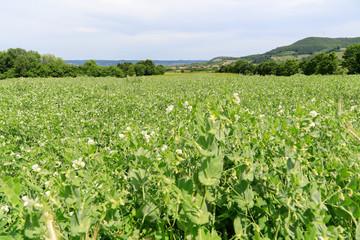 Agrarlandschaft: Feld mit Erbsen vor dem Hintergrund des Steigerwaldes in Bayern Fotoväggar