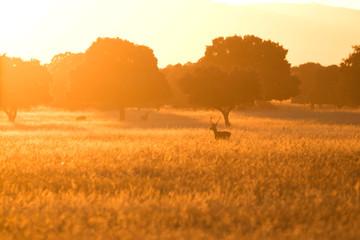 Ciervo al amanecer