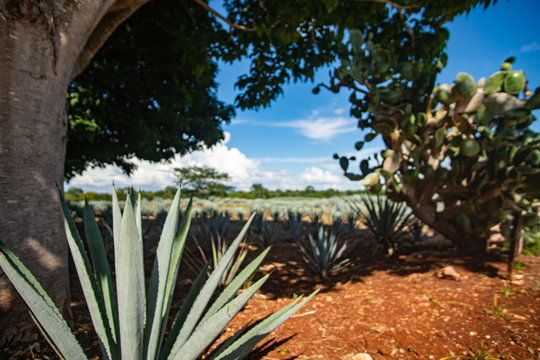 Blue agave field in Mexico