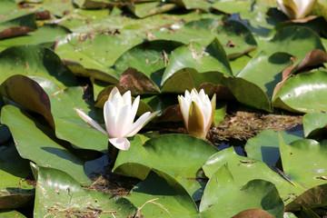 Nénuphars - Fleur de Lotus