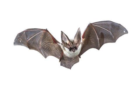 Flying Grey long eared bat isolated on white background