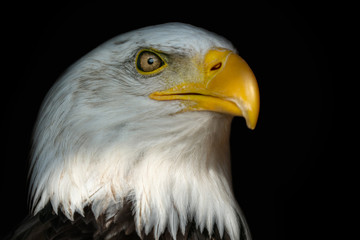 Portrait of a bald eagle (Haliaeetus leucocephalus) with an open beak isolated on black background Wall mural