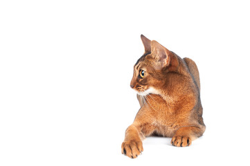 Chic abyssinian cat portrait isolated on white, profile of a beautiful cat, space for text