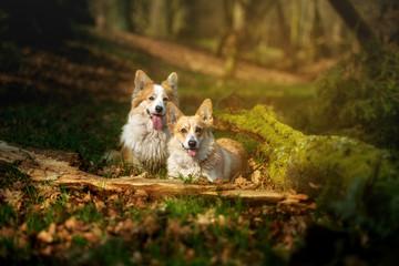 Welsh Corgi Pembroke dog posing for photos