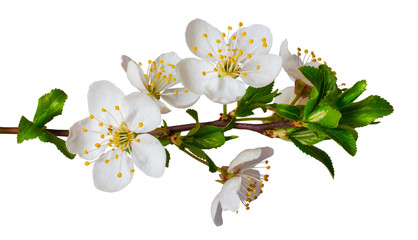 Foto op Canvas Kersenbloesem Cherry branch with flowers on a white isolated background_