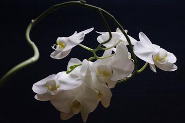 Obraz biała orchidea na ciemnoniebieskim tle - fototapety do salonu