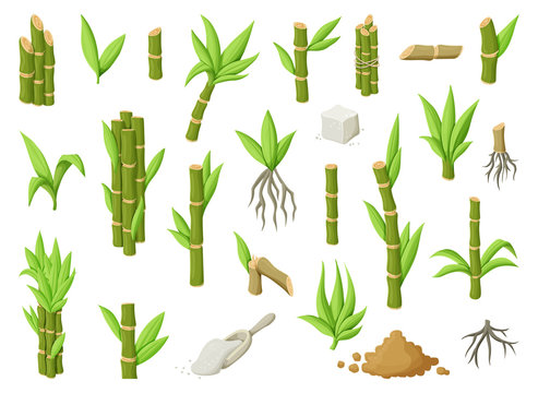 Sugar cane cartoon vector illustration on white background.Sugarcane set icon.Vector illustration of sweet white sugar.Cartoon cane leaf.Set icon of sugarcane plantation.