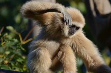 Photo sur Plexiglas Singe Gibbon Affe monkey