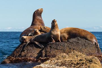 steller's sea lions on a rock