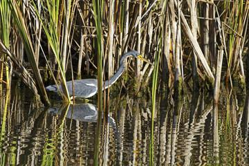 Hunting tricolored heron in reeds of Florida wetlands