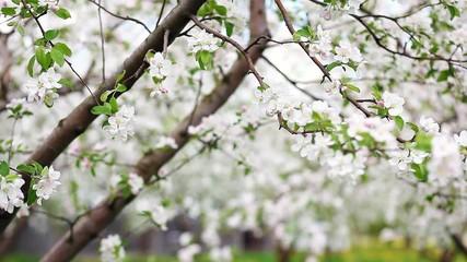 壁紙(ウォールミューラル) - apple tree
