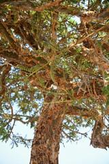 Weihrauch Baum Weihrauchbaum Harz Weihrauchharz Baumstamm Stamm Weihrauchproduktion Produktion Rinde Duft ernten Gummiharz Ritus Harztyp Rauch geerntet Katholisch Kirche Religion Kult Baumkrone