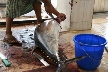 Thunfisch schlachten Oman Butchering tuna frischer Fisch Thunfischfleisch Hochseejagd Überfischung Fischmarkt Fischfleisch Markt Salzwasserfisch Hygiene Hygienevorschirften Deutschland EU Veterinäramt