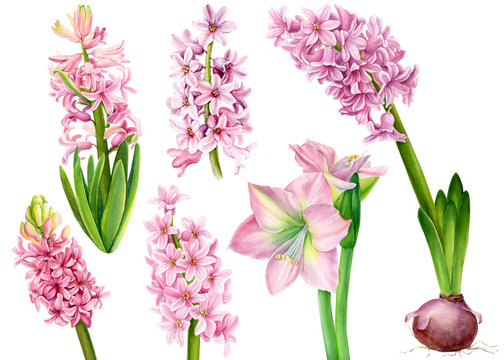 set of watercolor pink flower, hyacinths, lily, amarilis on an isolated white background, botanical painting