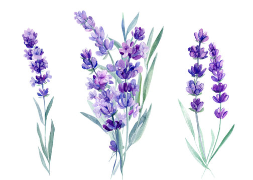 set of lavender flowers, bouquet of lavender flowers on an isolated white background, watercolor illustration, hand drawing