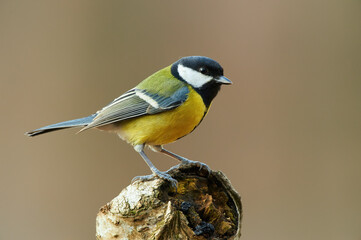 Beautiful great tit (Parus major) Fotomurales