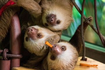 Costa Rica sloths Wall mural