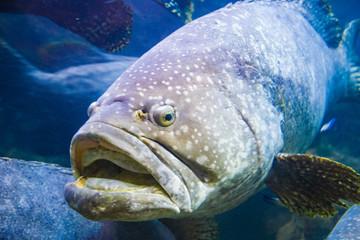 giant grouper fish underwater in an aquarium