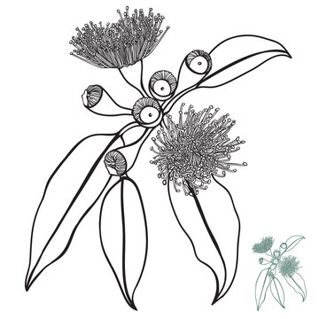 Australian Sketched Gum nut floral shrub Vector