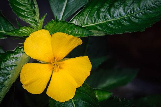 Yellow damiana flower flower in the garden on green leaves background.Damiana flower