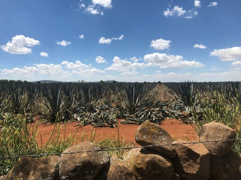 A field of blue agave, near Arandas, Mexico, being harvested for hijuelos, the offshoots used for propagation.