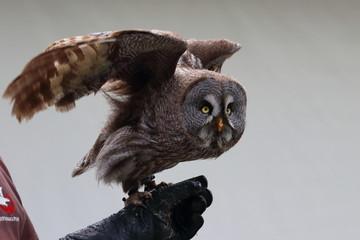 Fotobehang Uil great grey owl