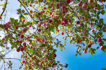 A lot of red apples on an apple tree against a blue sky