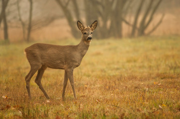 Fotobehang Ree sarna młody koziołek on leśnej polanie