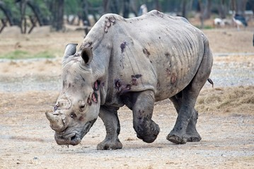 Foto op Aluminium Neushoorn big and strong rhino after the fight