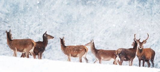 Wall Mural - Group of beautiful male and female deer in the snowy forest. Noble deer (Cervus elaphus).  Artistic Christmas winter image. Winter wonderland. Banner format.