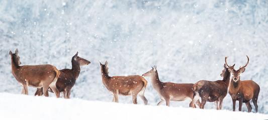 Fototapete - Group of beautiful male and female deer in the snowy forest. Noble deer (Cervus elaphus).  Artistic Christmas winter image. Winter wonderland. Banner format.