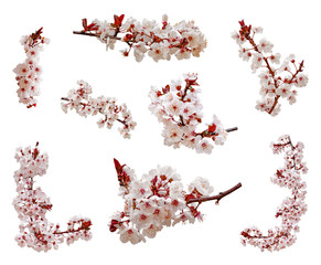 Foto op Plexiglas Kersenbloesem Cherry blossoms flowers in blooming on branch isolated on white background. Cutout aka cut out or cutout of Japanese Sakura flowers and buds. Spring and romantic set or pack. Selective focus.