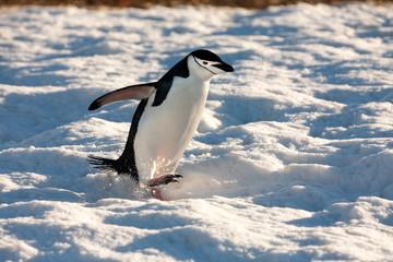 Acrylic Prints Antarctica Chinstrap Penguin - South Shetland Islands - Antarctica