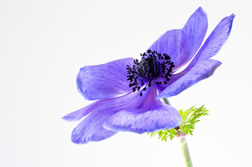 Purple Anemone flower, translucent, and high key image
