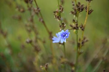 Blue field flower on a background of green grass.
