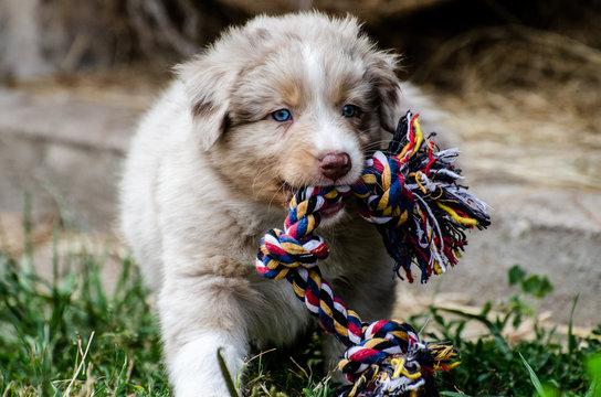 Ein Australian Shepherd Welpe spielt mit seinem Hundespielzeug, Hunde