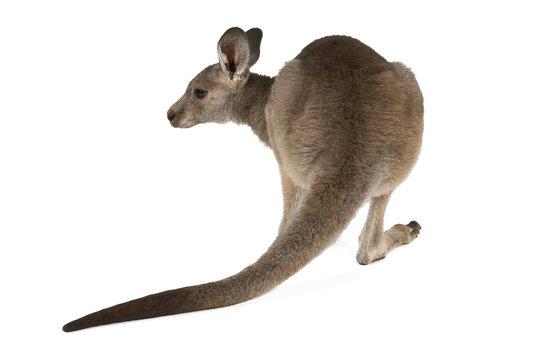 Eastern Grey joey kangaroo isolated on white background.