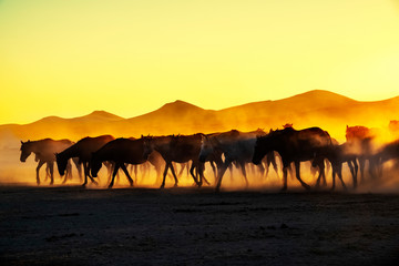 Foto auf Acrylglas Gelb Schwefelsäure Wild horses living in nature
