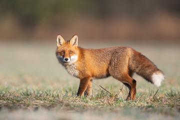 Mammals - European Red Fox (Vulpes vulpes) - fototapety na wymiar