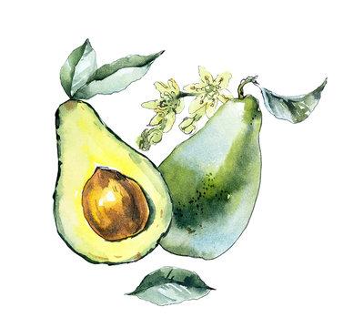 Avocado. Watercolor hand drawing illustration