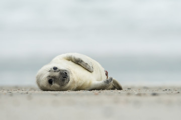 Young and cute grey seal pup, natural environment, close up, wildlife, Halichoerus grypus