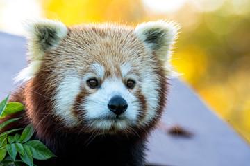 Tuinposter Panda panda roux