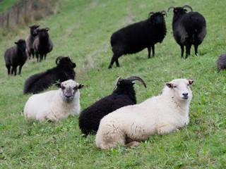 Black and white sheep