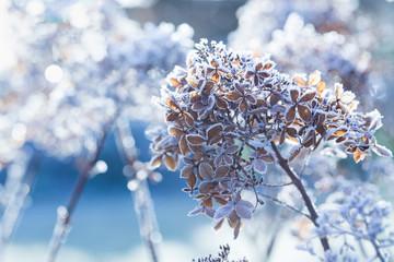 Frozen hydrangea paniculata flowers in cold  winter