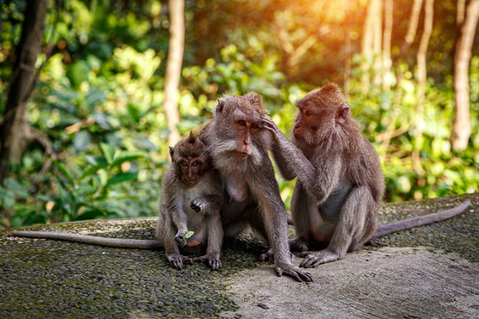 Family portrait of monkeys. Father, mother and young monkey
