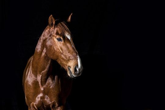 brown horse head portrait on black background