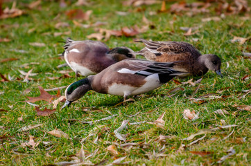 Wigeon Ducks Feeding At Cannon Hill Park